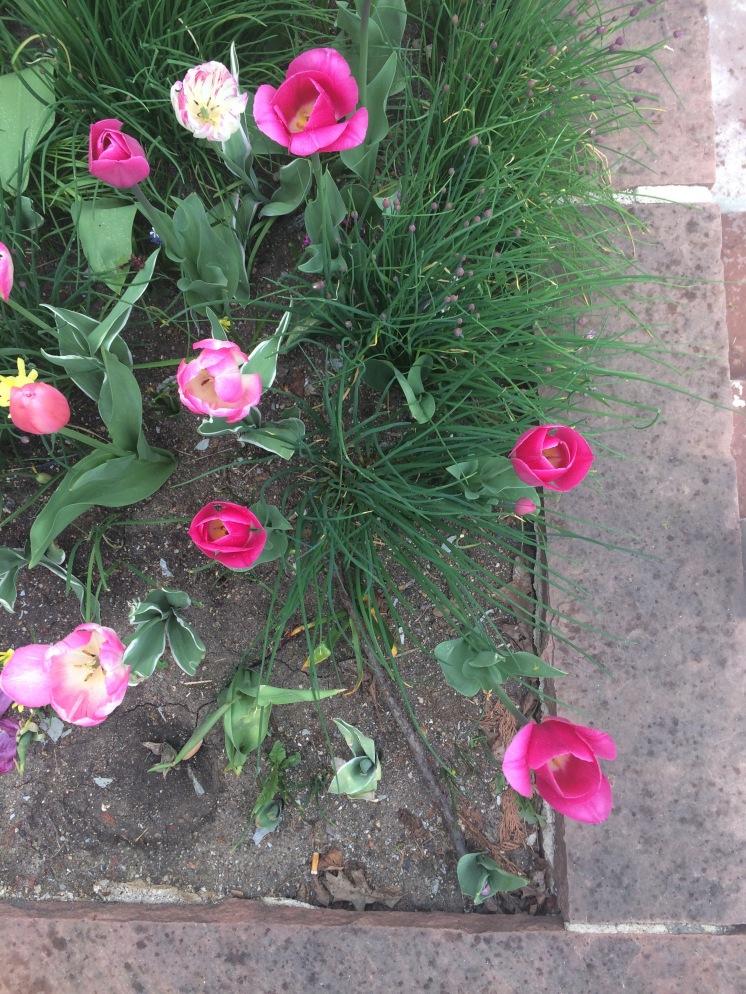 More pretty tulips