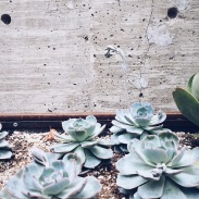 Flowering succulents! I need to know how they keep theirs alive...