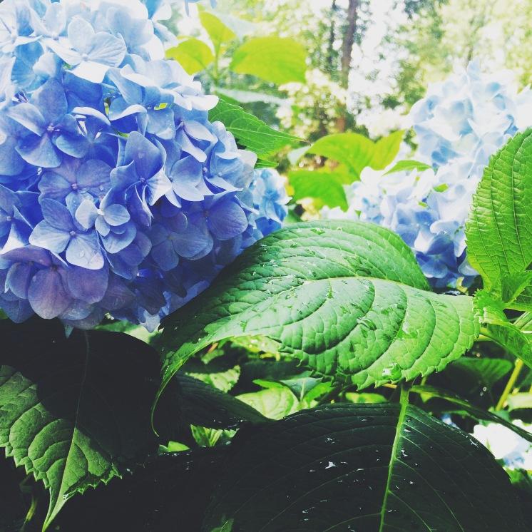 Hydrangea's in full bloom