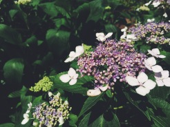 """""""Lace-capped"""" hydrangea"""