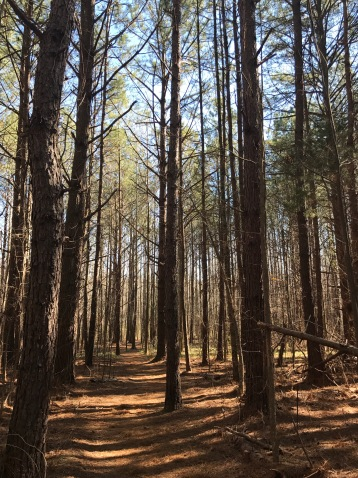 Pine trees and hiking trail